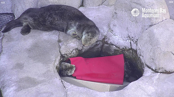 Sea Otter Tucked Herself in for a Nap Next to a Good Friend