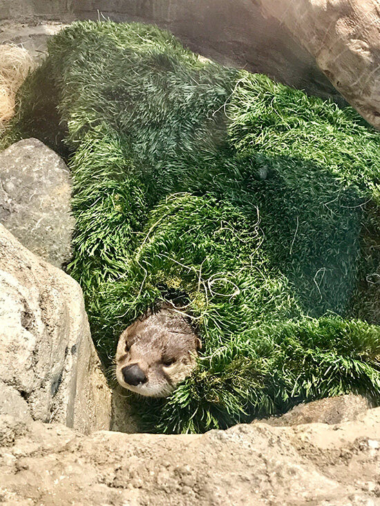 Otter Emerges from the... Grass? Okay, the Grass. 2