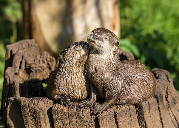 Otters Bask in the Sun and Their Love