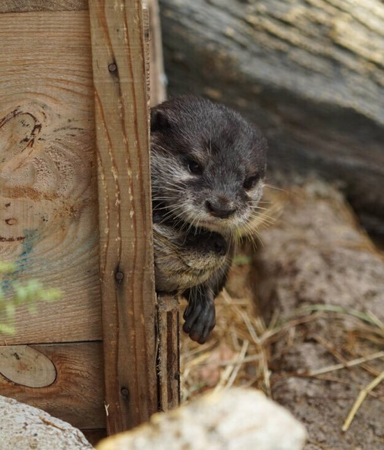 Impatient Otter Really Wants to Know Who's Out There