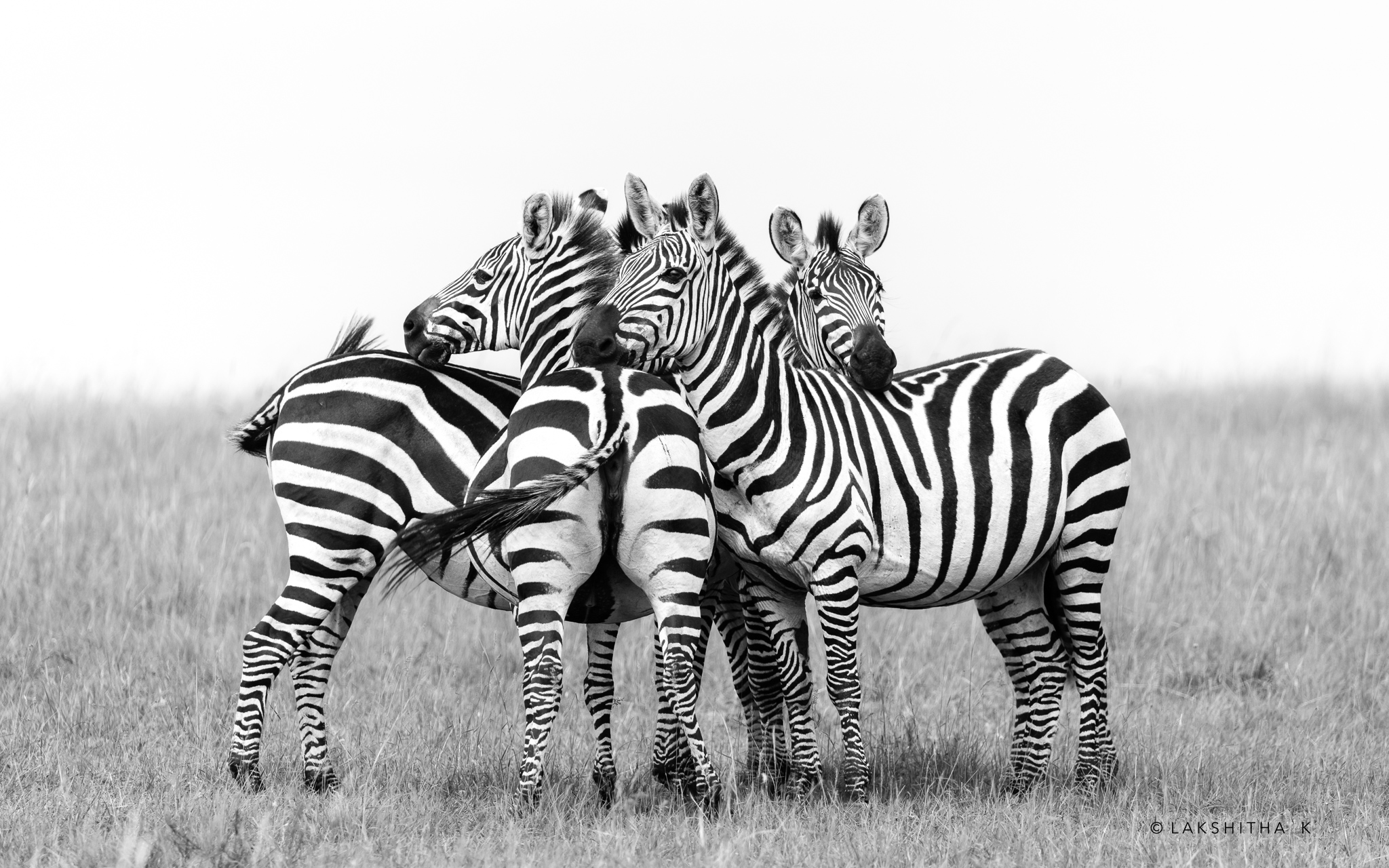 Zebra huddle