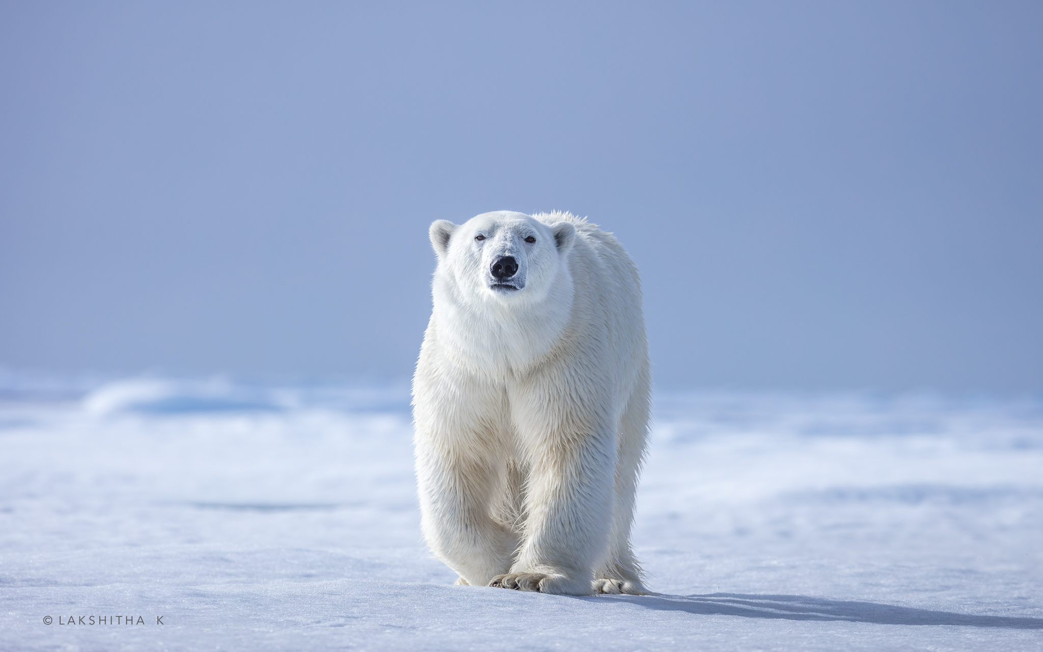 polar bear2.jpg