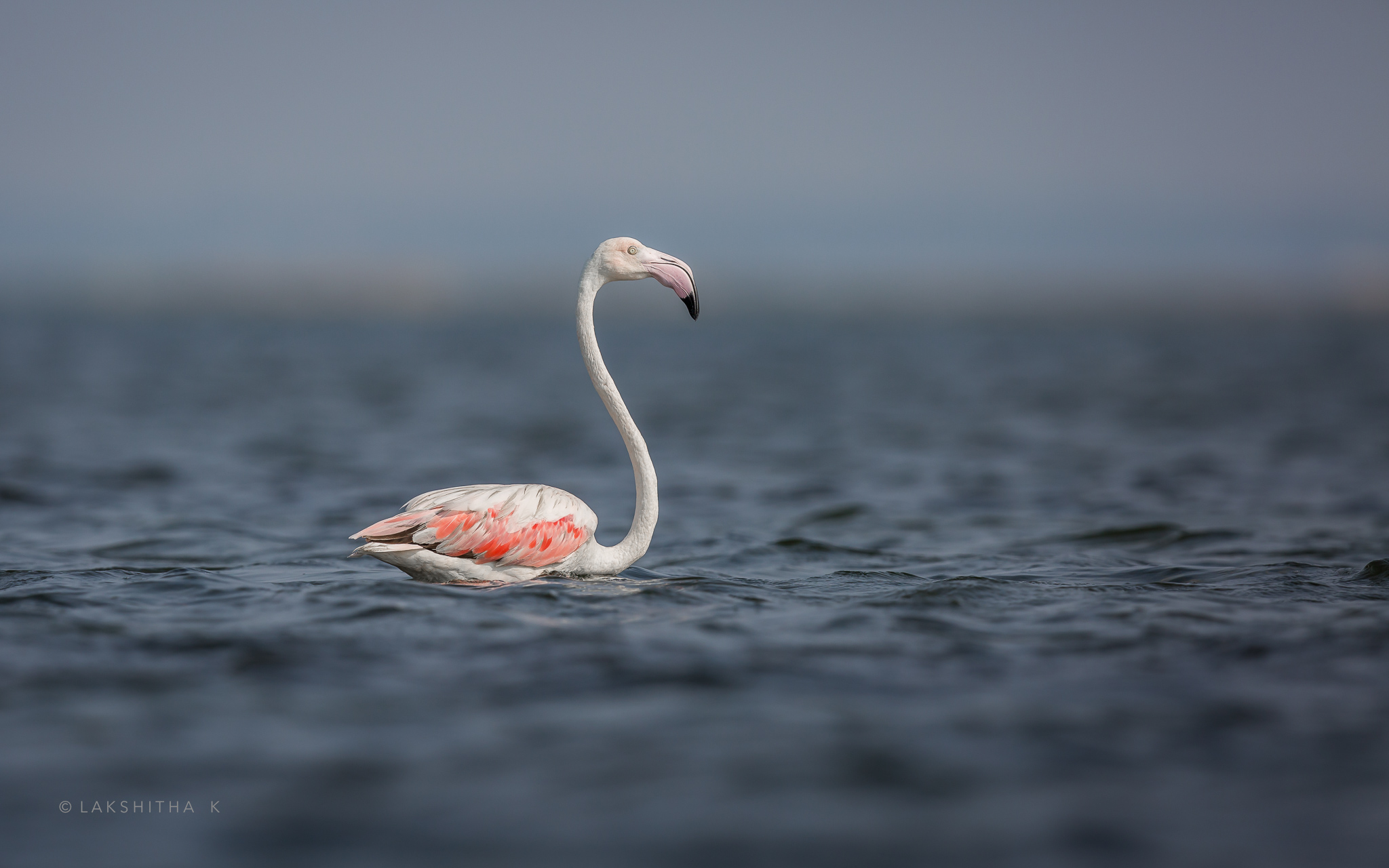 flamingo solo.jpg