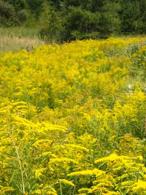 Golden fields   enemy arrows by will o'hara