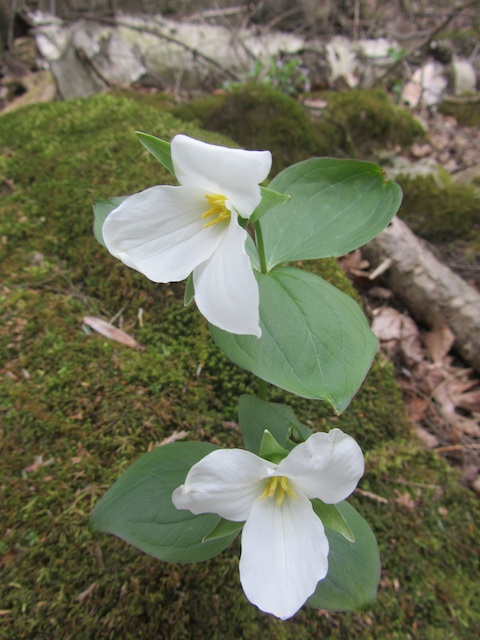 Trilliums in bloom   enemy arrows by will o'hara