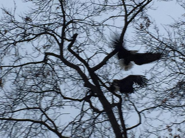 A pair of bald eagles fighting - in Bloor West Village in Toronto #baldeagle #urbanwildlife #torontobitd #enemyarrows