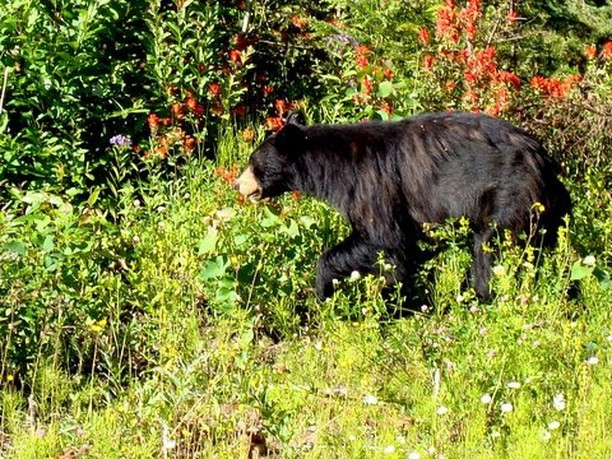 A black bear wanders by on a hot summer afternoon in Northern BC. #bear #blackbear #wildlife #photography #EnemyArrows #PrinceGeorge