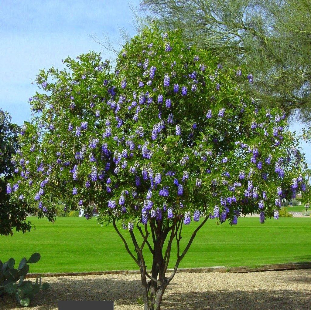 Texas Mountain Laurel Price Right Tree Service
