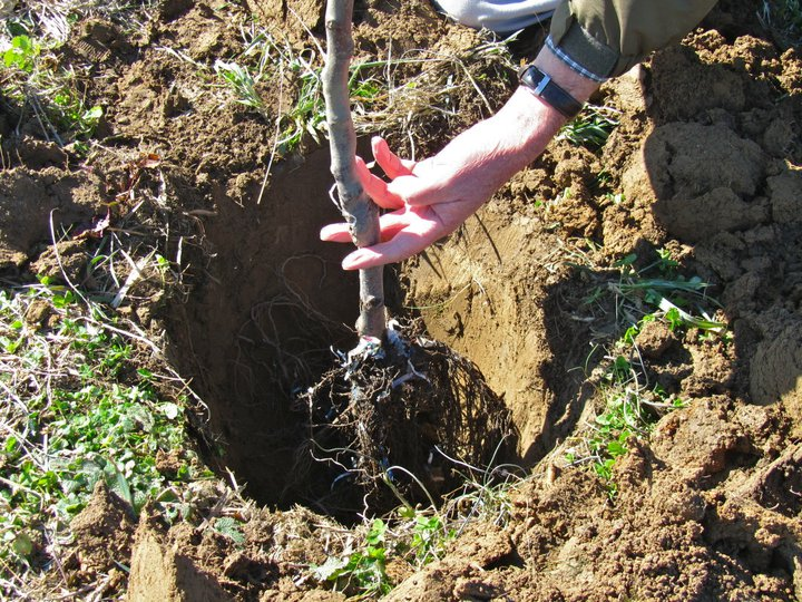 planting-fruit-trees.jpg