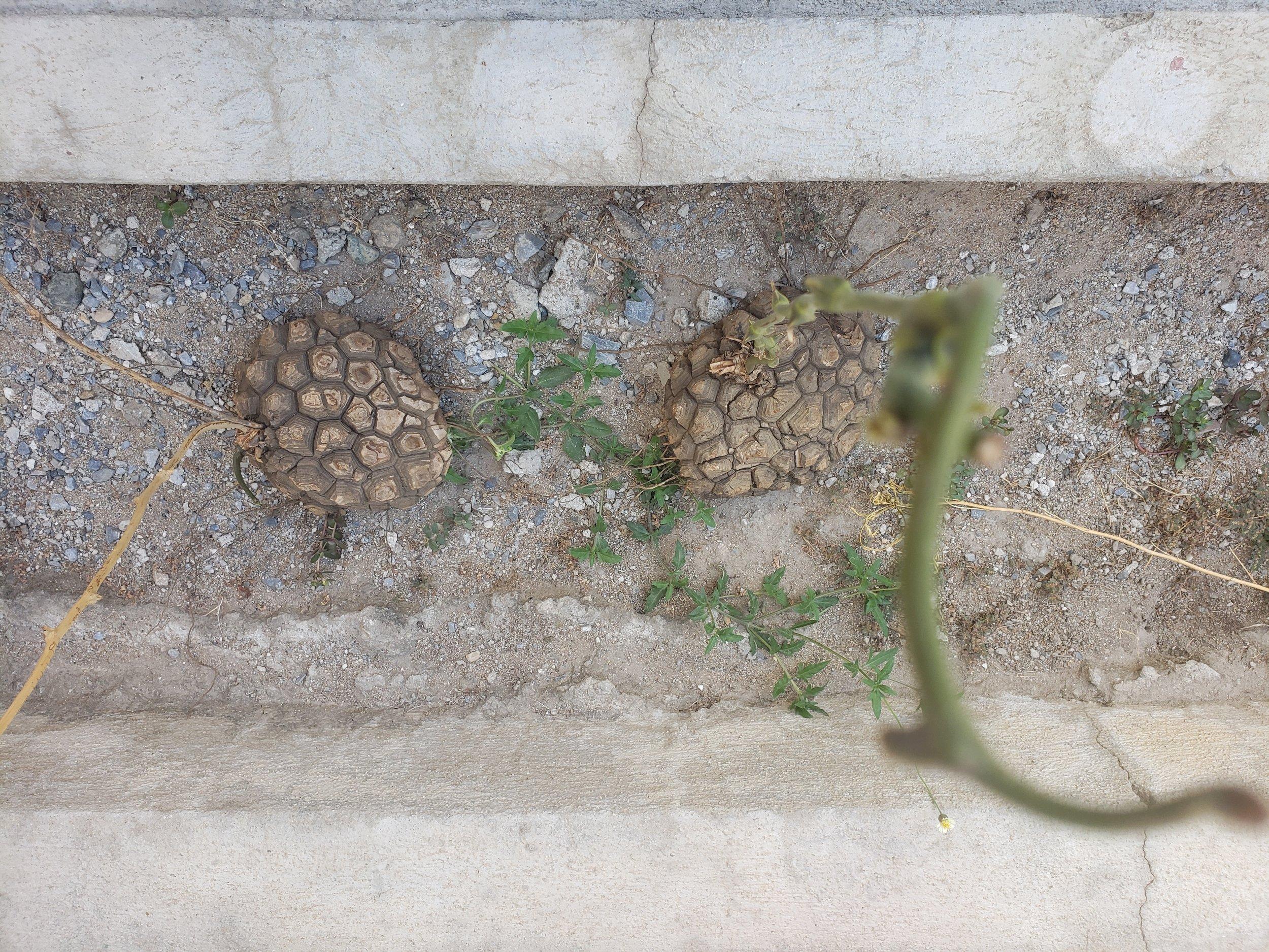 Turtle Plants - Guatemala - Lulu Matute