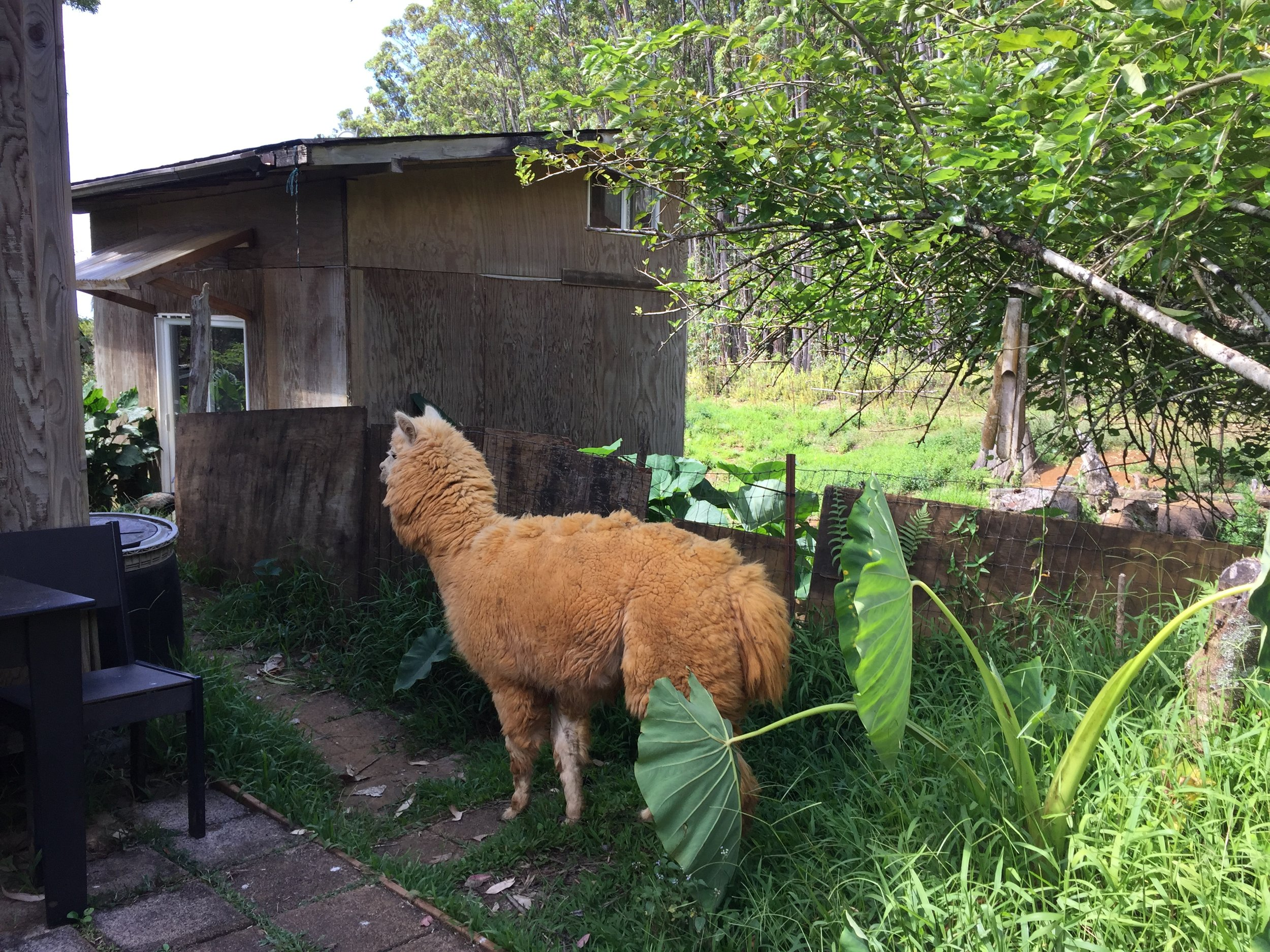 Along with Jeremy, the farm is home to a myriad of mythical creatures: an alpaca named Paco, two giant tortoises, a peacock named Clarence, chickens, horses, goats, dogs, and cats.