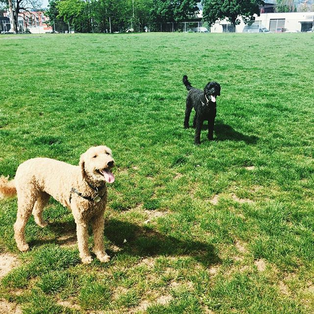 Happiness is just a ball toss away. #labradoodle #dogtongue #dogpark #dogs