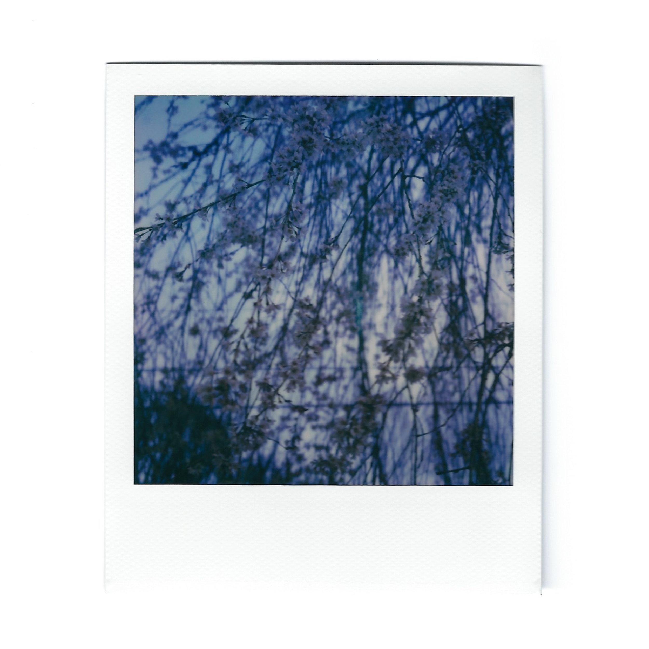 cherry-blossoms-3-polaroid.jpg