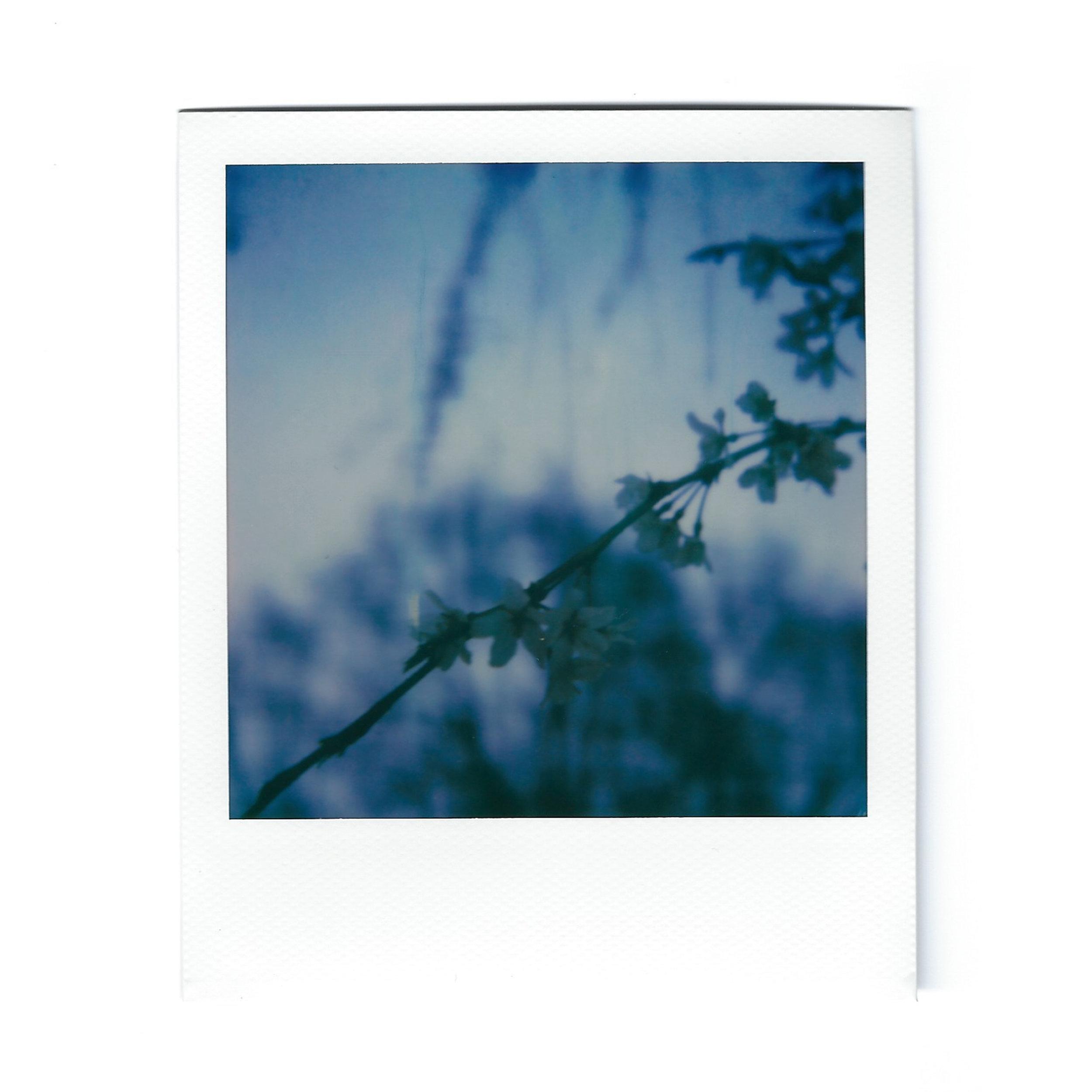 cherry-blossom-2-polaroid.jpg