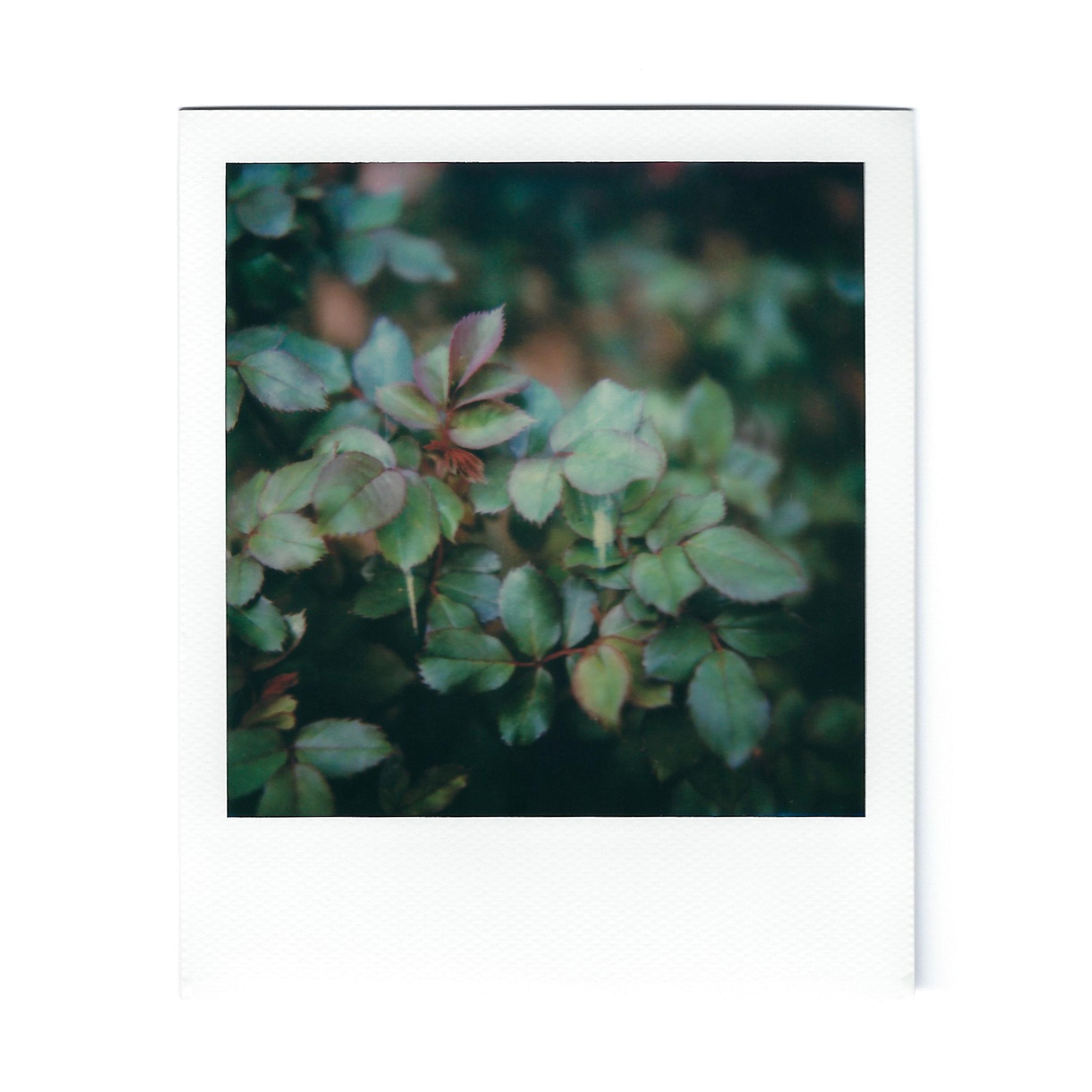 rose-leaves-polaroid.jpg