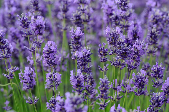 lavender plant.jpg