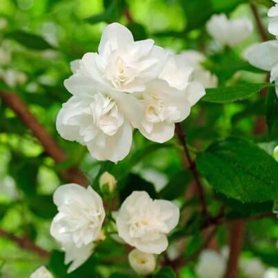 jasmine sambac1.jpg