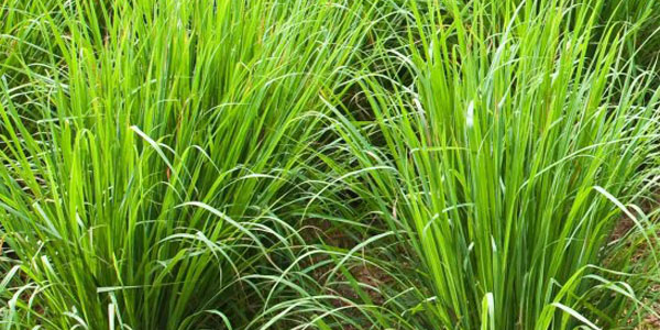 palmarosa plant.jpg