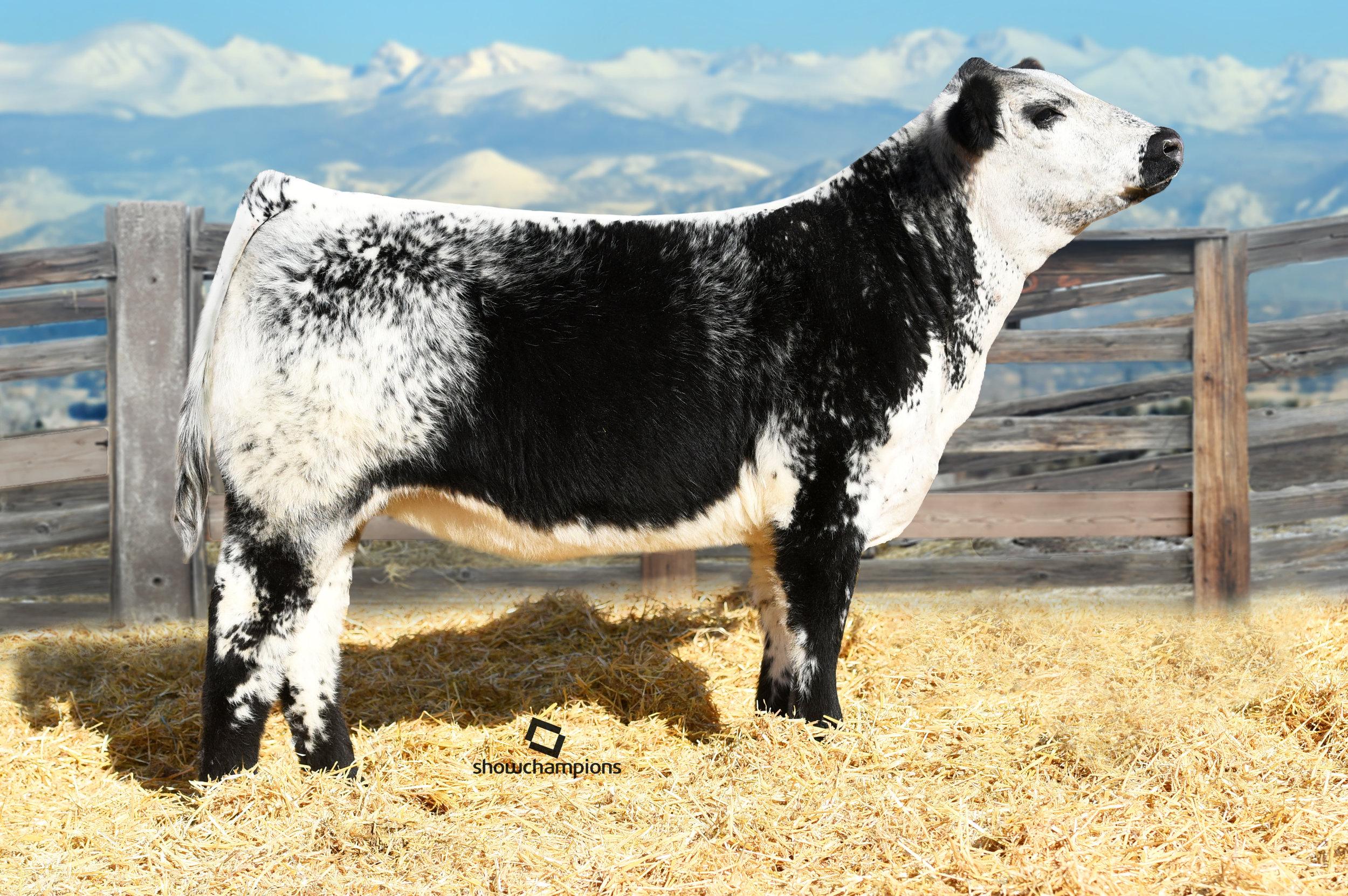 Heifer : Notta 1B Unique 217E