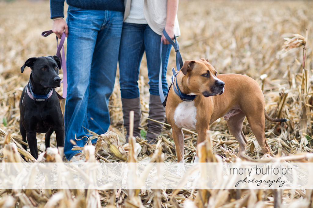 Couple pose in the field with their pet dogs at Skaneateles Engagement