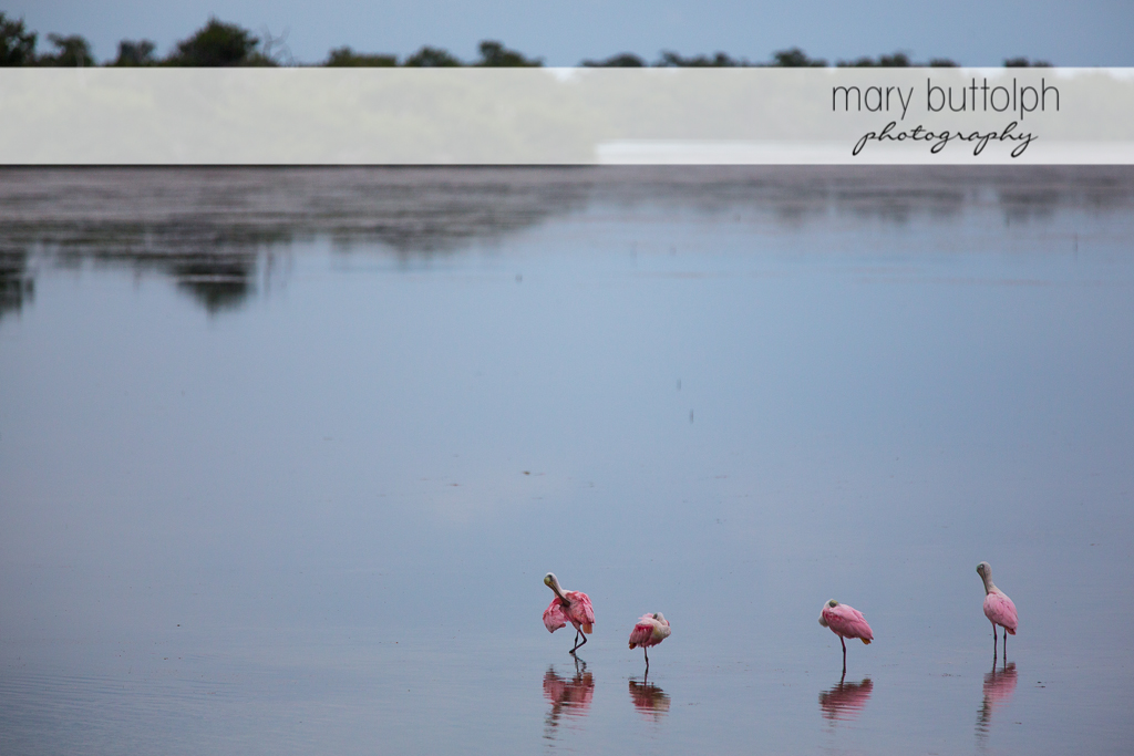 Pink birds on the beach at Sanibel Island Vacation