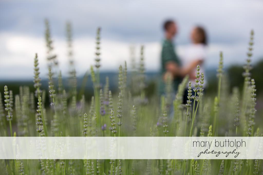Couple as seen through lavenders at Lockwood Lavender Farm Engagement