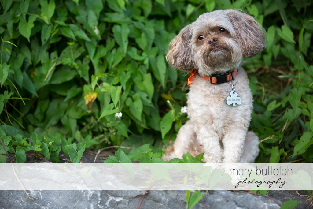 Dog poses for the camera in the garden at Skaneateles Lodge at Welch Allyn Engagement