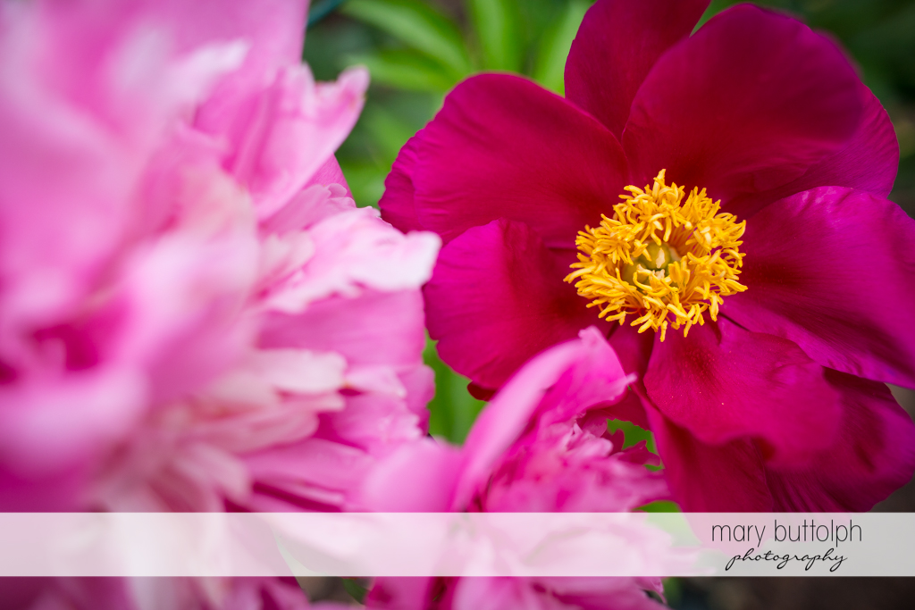 Close up shot of pink flowers at the Mirbeau Inn & Spa Wedding
