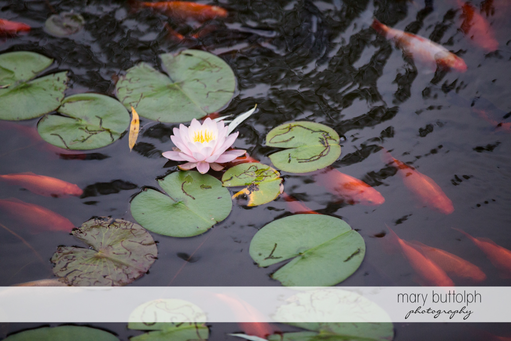 Water lilies and fish in the lake at the Mirbeau Inn & Spa Wedding