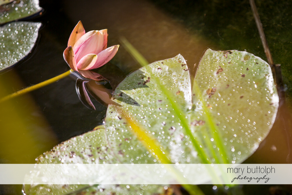 Close up shot of water lily at Skaneateles Country Club Wedding
