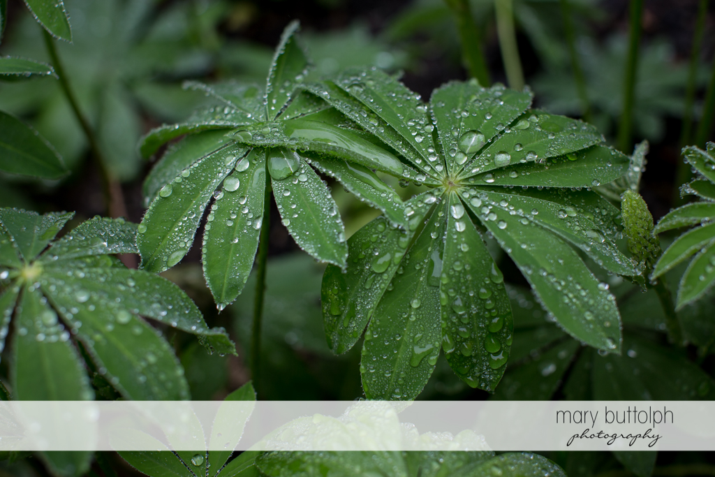 Dew drops on the leaves in the garden at Frog Pond Bed & Breakfast Wedding
