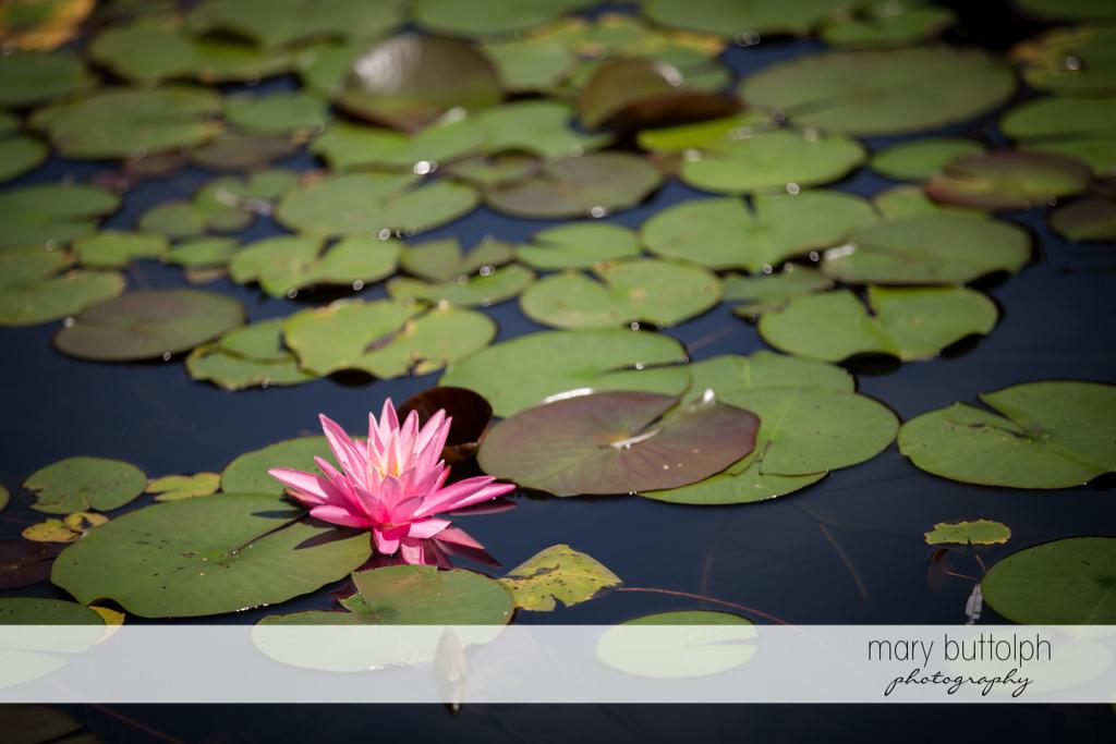 Pink water lily at the lake at The Lodge at Welch Allyn Wedding