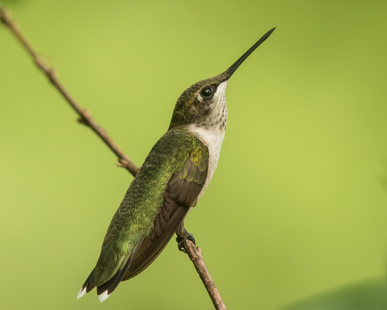 Ruby-throated Hummingbird, male, photo by Vic Prislipsky
