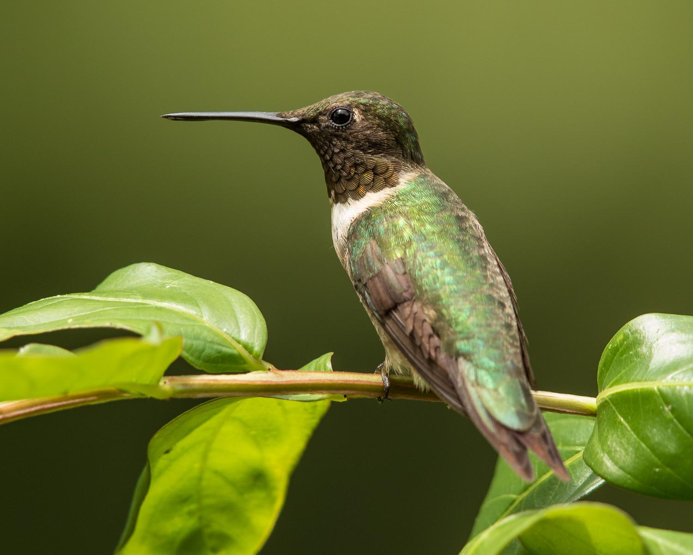 Ruby-throated Hummingbird, male - photo Vic Prislipsky