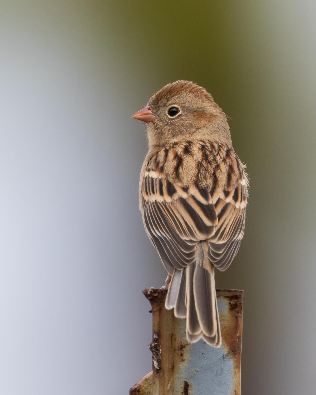 Copy of Field Sparrow