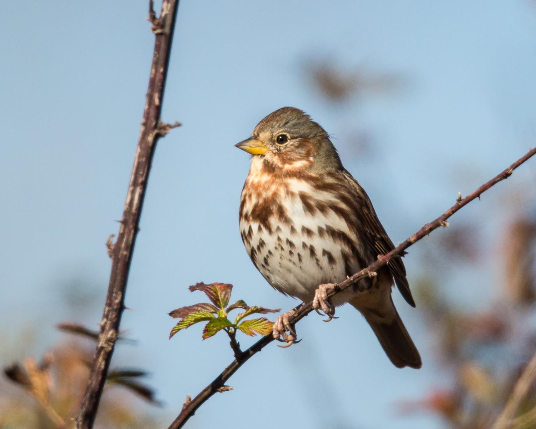 Copy of Fox Sparrow