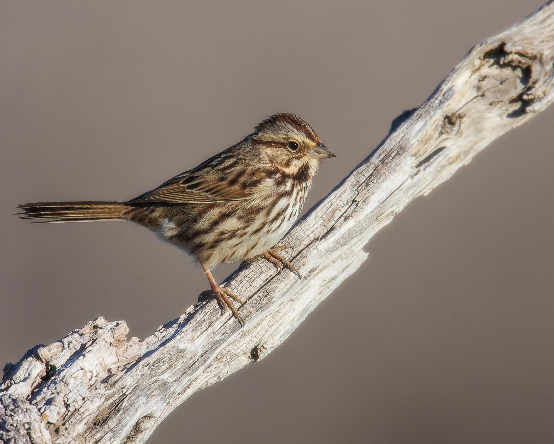 Copy of Song Sparrow