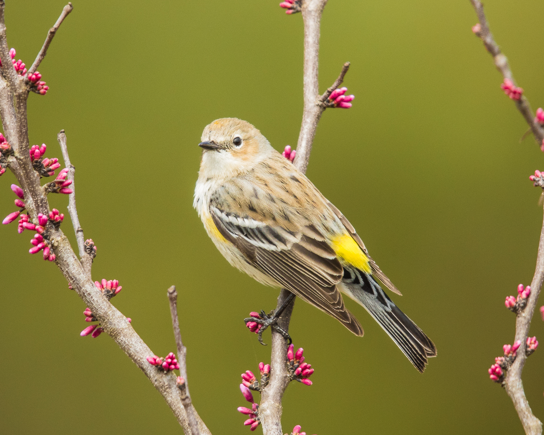 Copy of Yellow-rumped Warbler