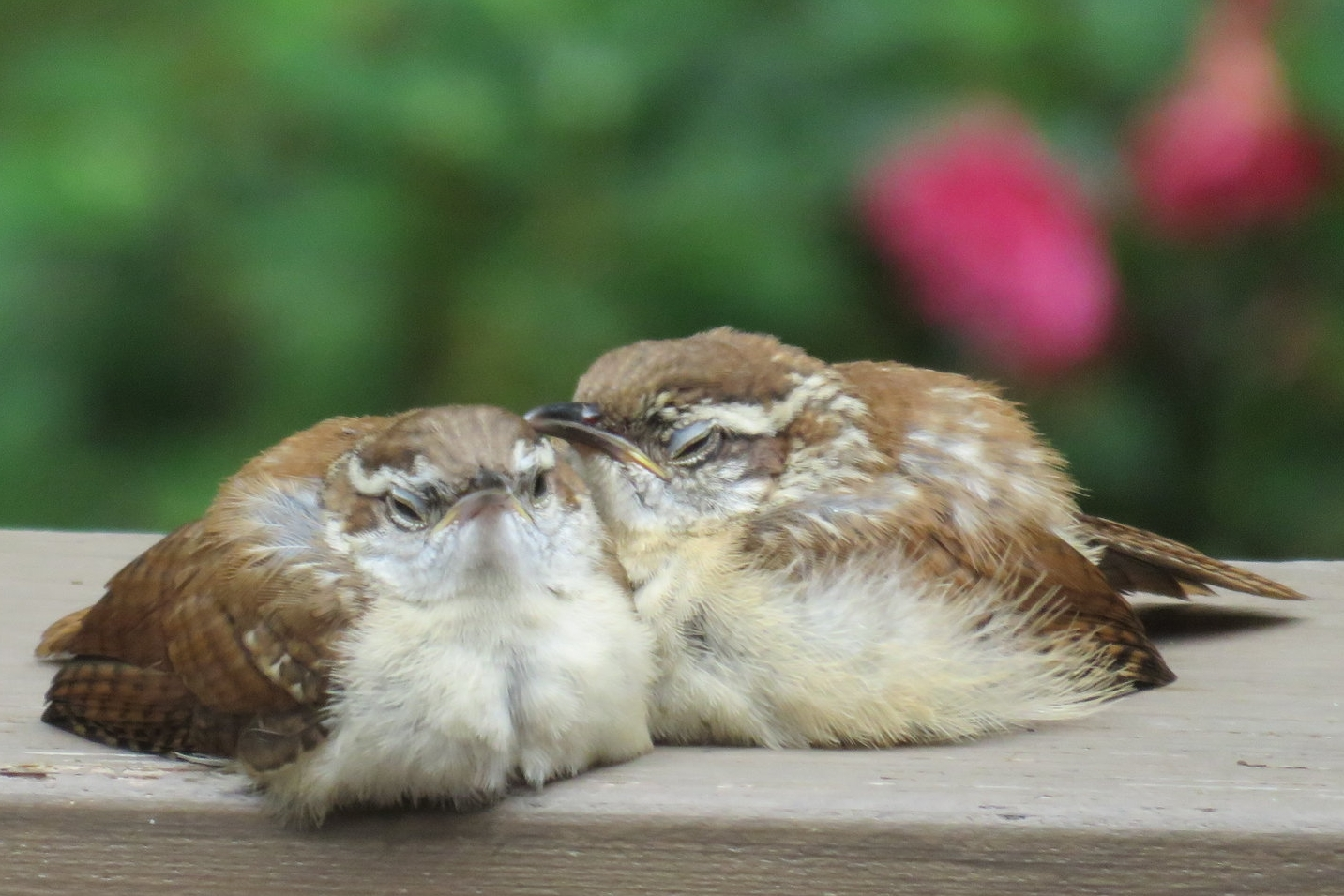 Wrens napping