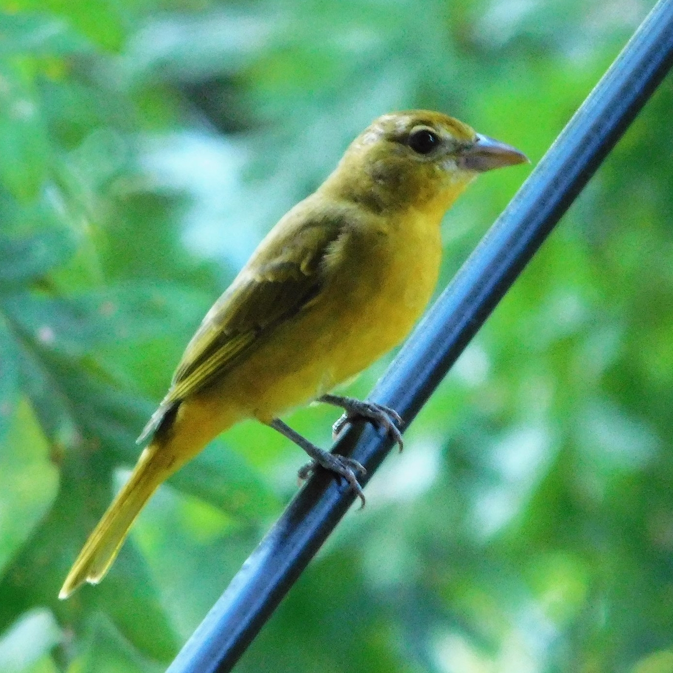Sumer Tanager, female