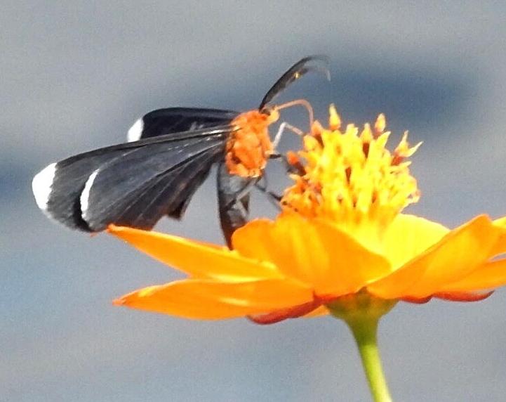 Navy Blue Moth