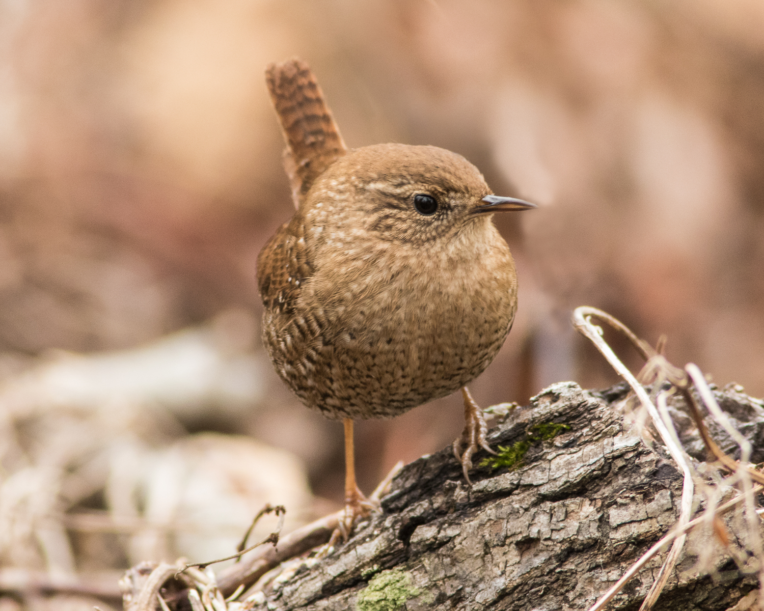 """You can count on this little Winter Wren for a giant-size """"chirp""""  Photo Vic Prislipsky"""