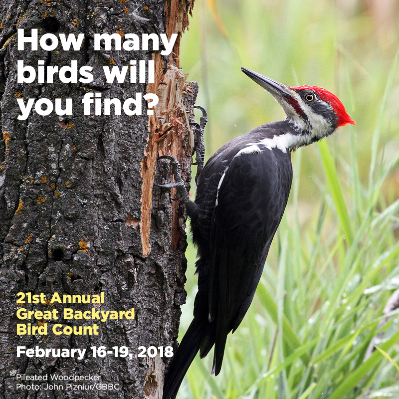 The Piliated Woodpecker, a Village resident, is often found in search of insects.