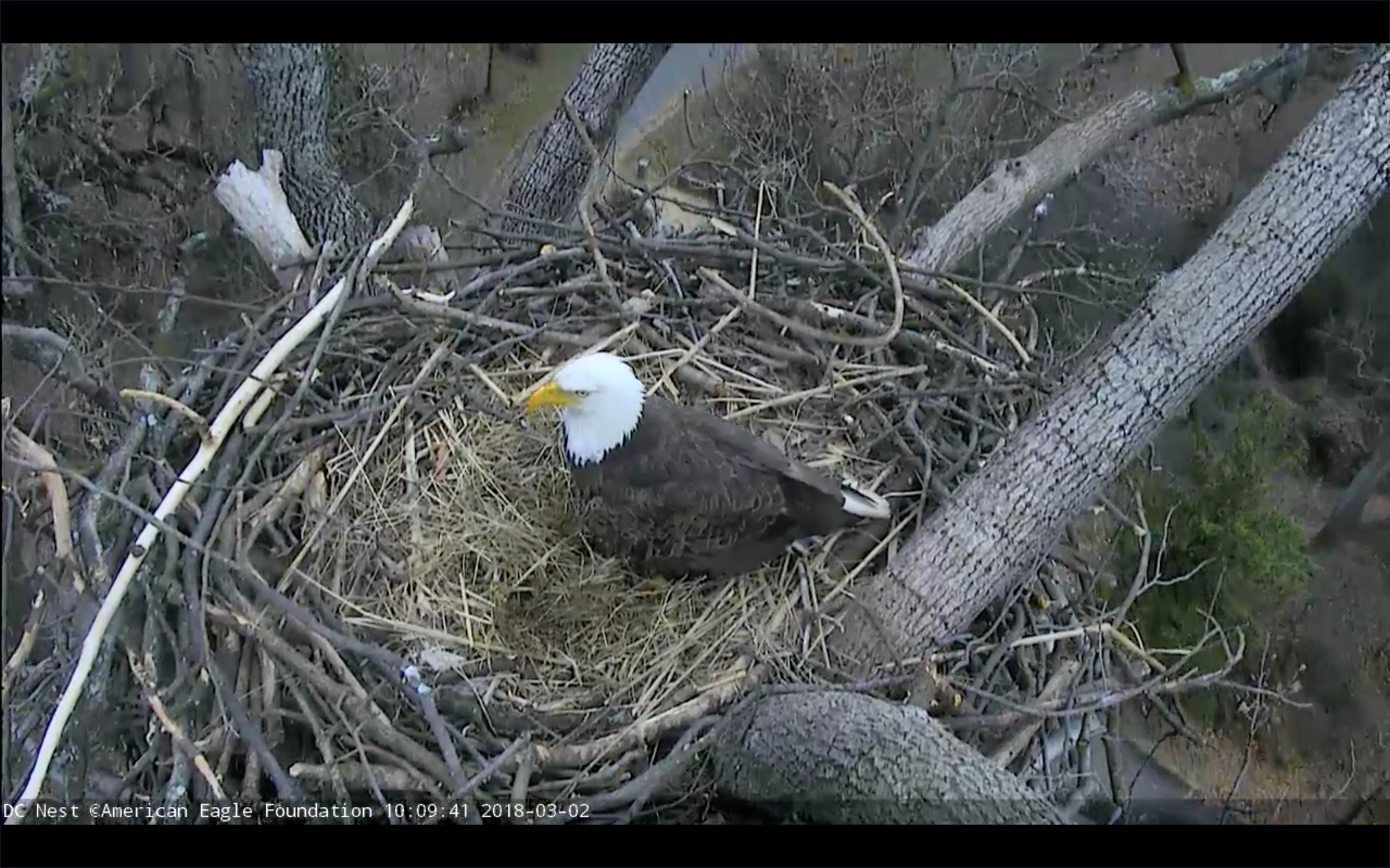 ©2018 American Eagle Foundation, EAGLES.ORG. These live feeds are the intellectual property of the AEF, and we kindly request that you do not attempt to embed or live stream these feeds on your website, blog, app, etc., or attempt to monetize screen shots or video captures. Thank you for your cooperation!