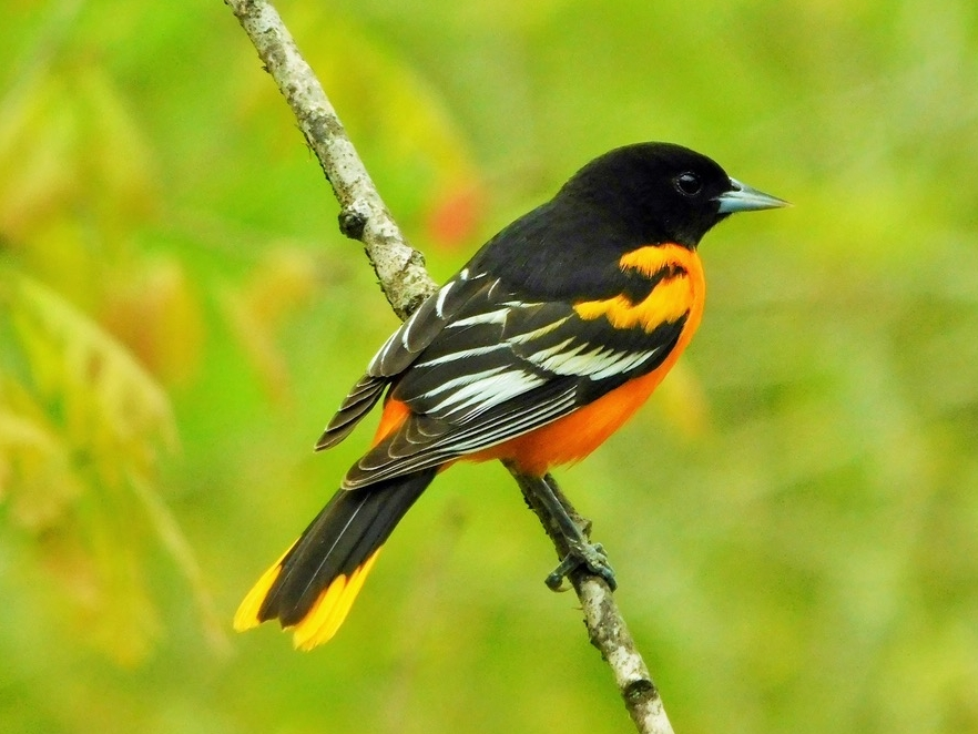 Baltimore Oriole, male