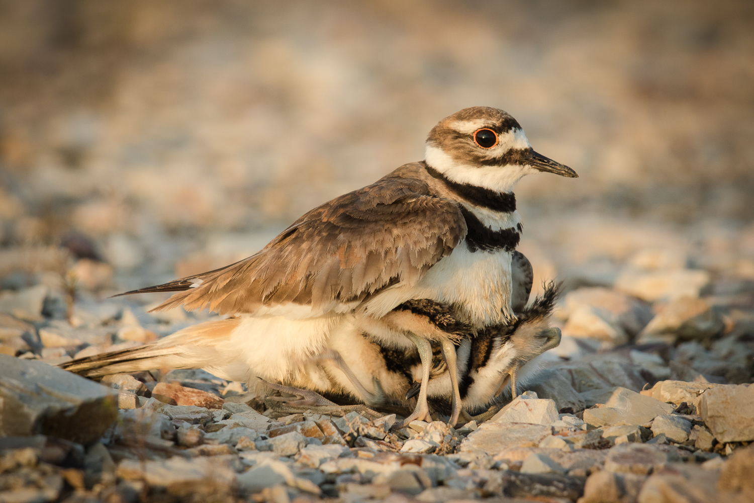 Can't tell where the rocks stop and the birds start? If you see only one Killdeer, look again. There are little chicks huddled below the adult wing. Thanks to Vic Prislipsky for this photo.