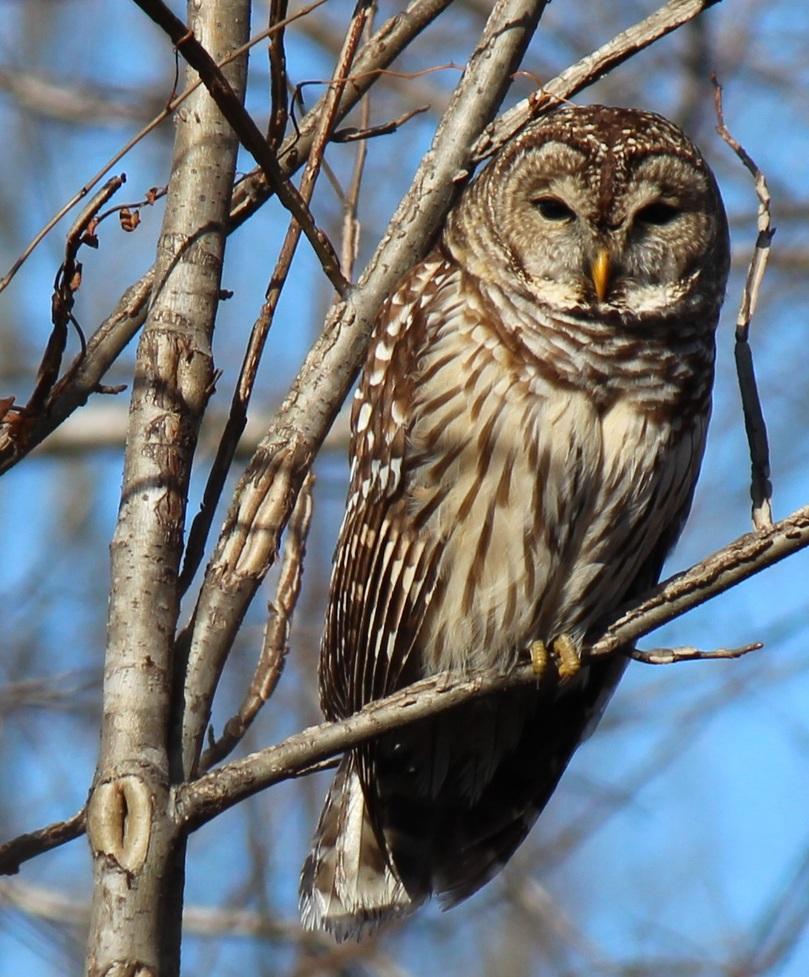 Barred Owl photo by Dale Barnard