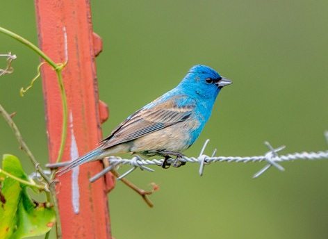 Indigo Bunting - non-breeding male