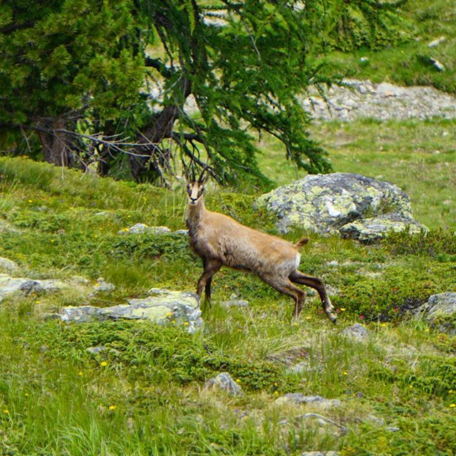 Today's photo of the day! I had hoped I would see a Gemse (Chamois) so bad since I started my journey in the Dolomites, luckily today on my last day there she/he was!  Good thing I had my camera out. They didn't stick around long, but so amazing to see and so grateful!  Beautiful creatures 💕