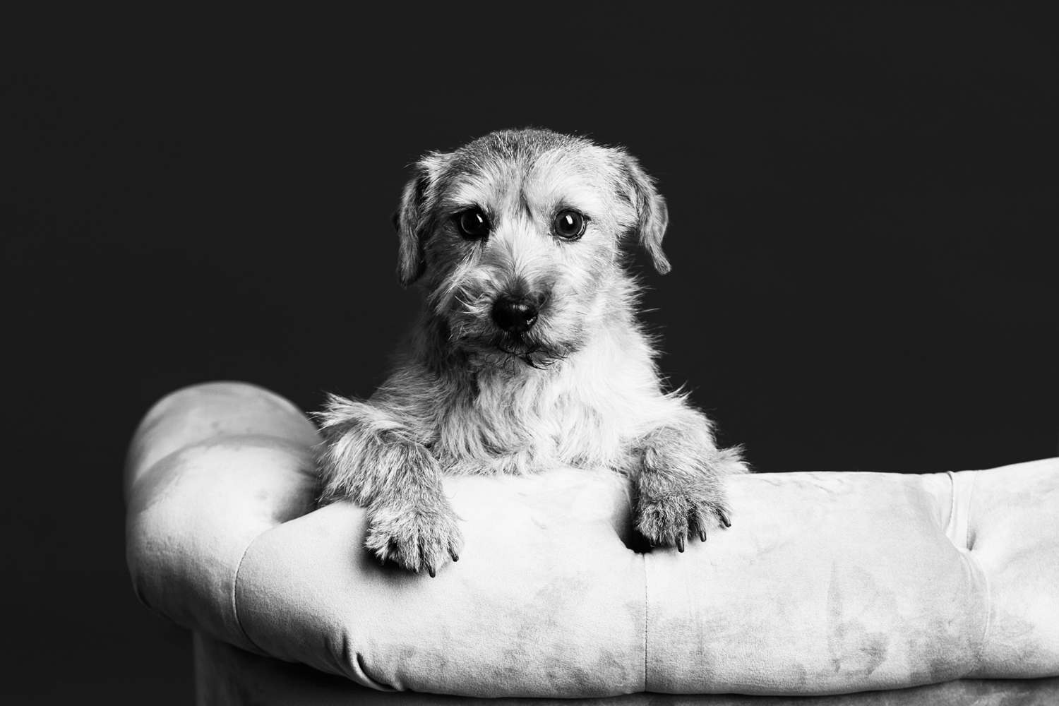 elegant-pet-portrait-on-chair.jpg